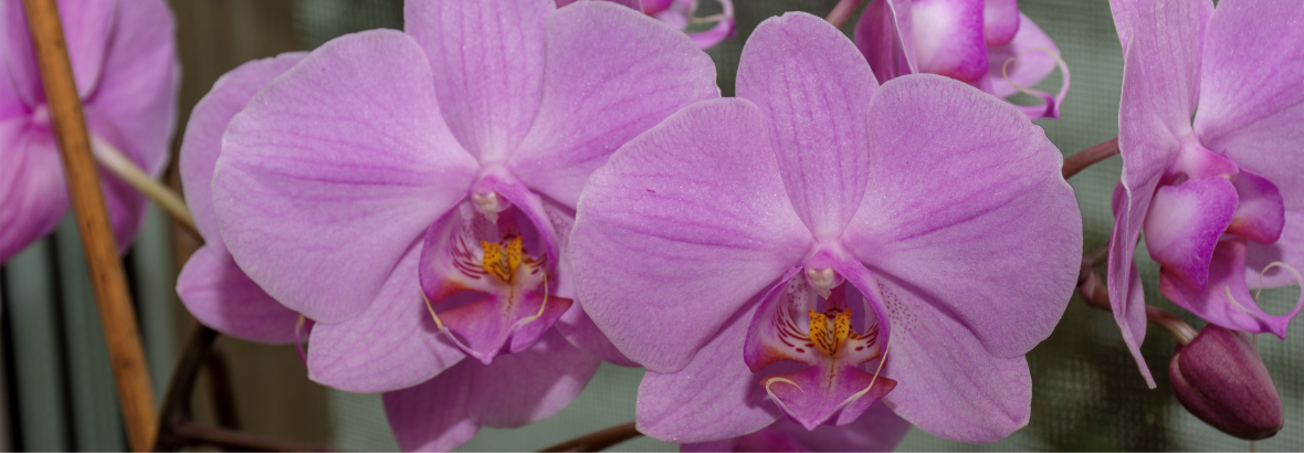 Lila orchidea.