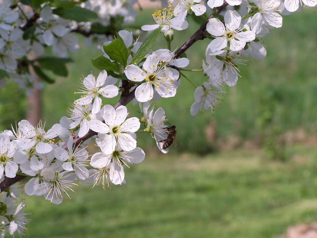 Cseresznyefa ág virágzik, az egyik fehér virágján ül egy méh.
